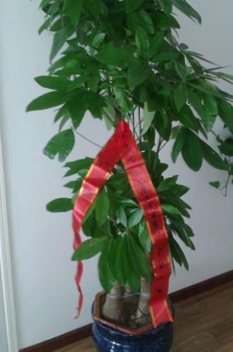 武汉客厅办公室盆景三杆发财树
